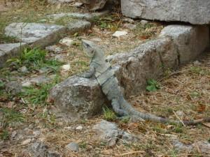 Y'a plein d'iguanes au Mexique