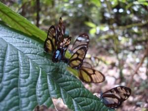 samaipata papillon