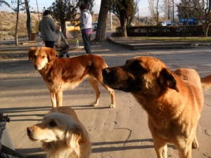 chiens errants 3